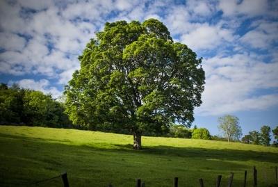 Stare drzewo, źródło: Sxc.hu